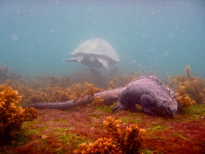Galapagos green sea turtle Marine iguana Rainbow fish