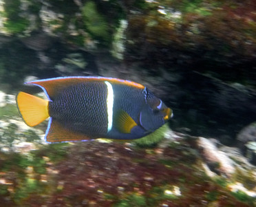 King angel fish