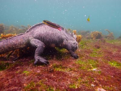 Marine iguana Rainbow fish