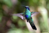 Sparkling Violetear,  Sachatamia Lodge, Aug 16.