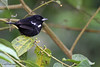 White-Shouldered Tanager, Rio Silanche Bird Sanctuary, Aug 13.