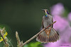 Brown Violetear,  Alambi Hummingbird Paradise, Aug 13.