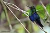 Green-Crowned Woodnymph,  Alambi Hummingbird Paradise, Aug 15.