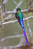 Violet-tailed Sylph, Birdwatcher's House, Aug 17.