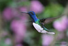 White-Necked Jacobin,  Alambi Hummingbird Paradise, Aug 13.