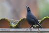 Scrub Blackbird, Sachatamia Lodge, Aug 16.