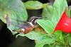 Female Purple-Throated Woodstar,  Alambi Hummingbird Paradise, Aug 13.