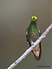 Buff-Tailed Coronet,  Birdwatcher's House, Aug 12.