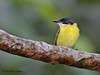 Black-Headed Tody-Flycatcher, Rio Silanche Bird Sanctuary, Aug 13.