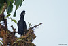 Long-Wattled Umbrellabird, 23rd of June (that's the name of the town), Aug 11.