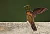 Buff-Tailed Coronet. Birdwatcher's House. Aug 9.