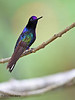 Velvet-Purple Coronet,  Sachatamia Lodge, Aug 16.