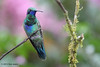 Sparkling Violetear,  Alambi Hummingbird Paradise, Aug 13.