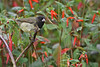 Yellow-Bellied Seedeater,  Sachatamia Lodge, Aug 16.