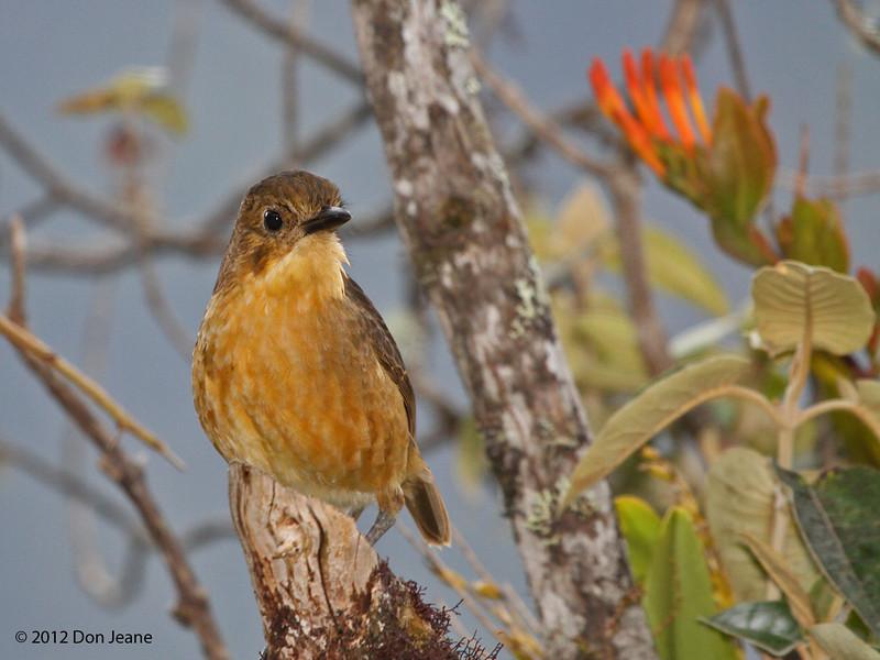 Tawny Antpitta,  Yanacocha Reserve, Aug 18,