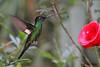 Buff-winged Starfrontlet,  Yanacocha Reserve, Aug 18,