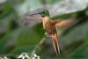 Fawn-Breasted Brilliant, Alambi Hummingbird Paradise, Aug 15.