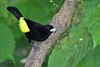 Lemon-Rumped Tanager, Mirador Rio Blanco Restaurant, Aug 11.