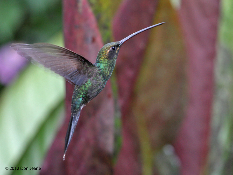 White-Whiskered Hermit,  Alambi Hummingbird Paradise, Aug 13.