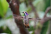 Brown Violetear,  Alambi Hummingbird Paradise, Aug 15.