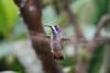 Brown Violetear,  Alambi Hummingbird Paradise, Aug 15.