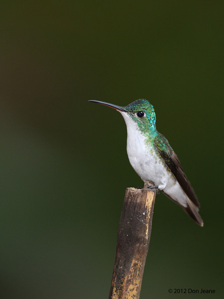 Andean Emerald,  Sachatamia Lodge, Aug 16.