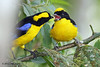 Blue-Winged Mountain-Tanagers,  Sachatamia Lodge, Aug 16.