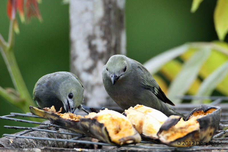 Palm Tanagers,  Sachatamia Lodge, Aug 16.