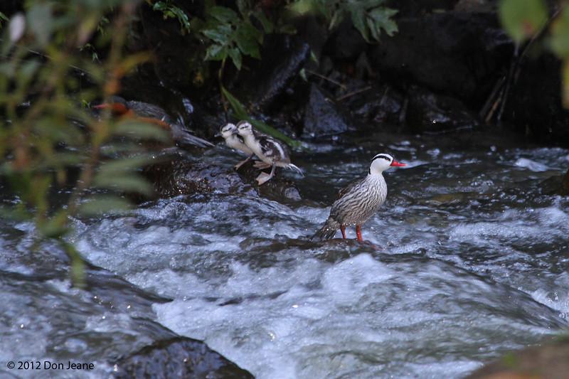 Torrent Ducks, Aug 18.