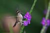 Speckled Hummingbird, Tony Nunnery's, old Nono-Mindo Road, Aug 15.