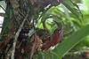 Black-Striped Woodcreeper, Rio Silanche Bird Sanctuary, Aug 13.