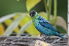 Black-Capped Tanager,  Sachatamia Lodge, Aug 16.
