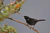 Black Flowerpiercer,  Yanacocha Reserve, Aug 18,