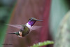 Purple-Throated Woodstar,  Alambi Hummingbird Paradise, Aug 13.