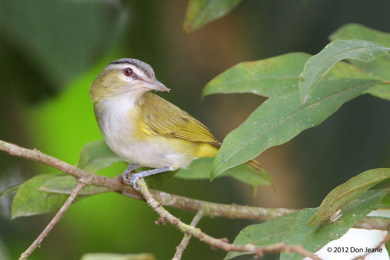 Red-Eyed Vireo,  Sachatamia Lodge, Aug 16.