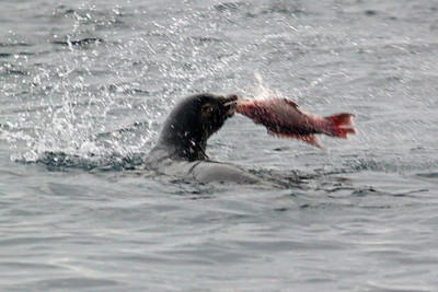 We saw a sea lion ripping apart a fish it had caught.  Too big to just eat, it flailed it around and ate smaller chunks that broke off....that is if the birds hovering overhead didn't get them first.
