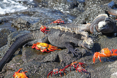 Marine iguanas and Sally Lightfoot crabs basking in the sun.