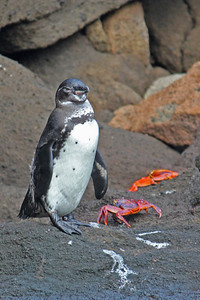 A Galapagos Penguin with some Sally Lightfoot Crabs.