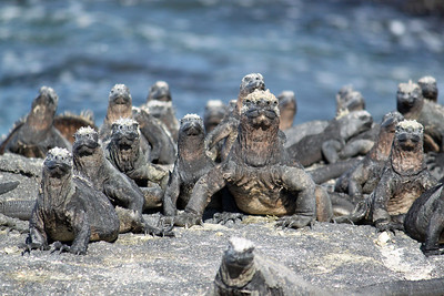 The marine iguanas watched our every step with Big Daddy in the middle!  This is one of my favorites.