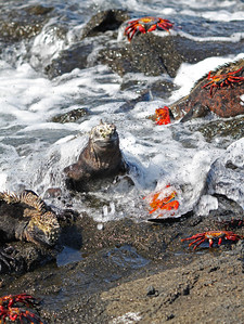 Marine iguanas and Sally Lightfoot Crabs in the foam off Fernandina Island.