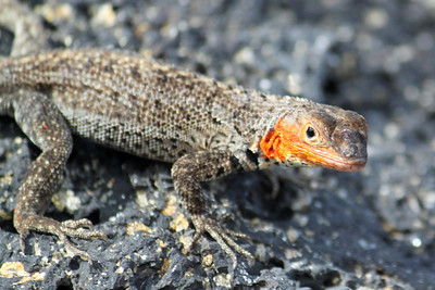 A lava lizard....small, only about 8 inches long including tail.