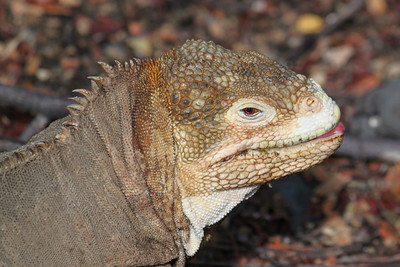 A less colorful female land iguana....sticking her tongue out.
