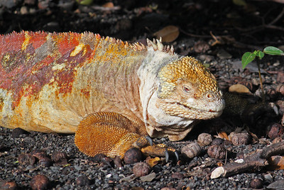 A big and colorful male land iguana.