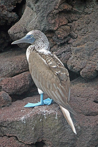 A clear view of the booby's blue feet.