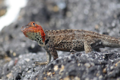 Another lava lizard.