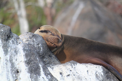 The sea lions do sleep a lot in the sun.
