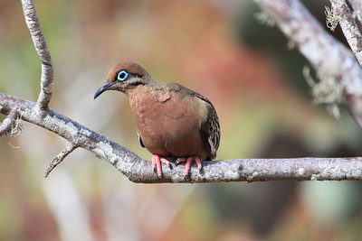 A Galapagos Dove....I love the blue eye lids.