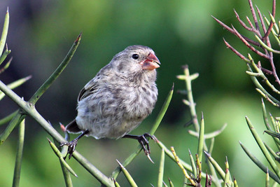 A Darwin Finch...one of a number of sub-species.