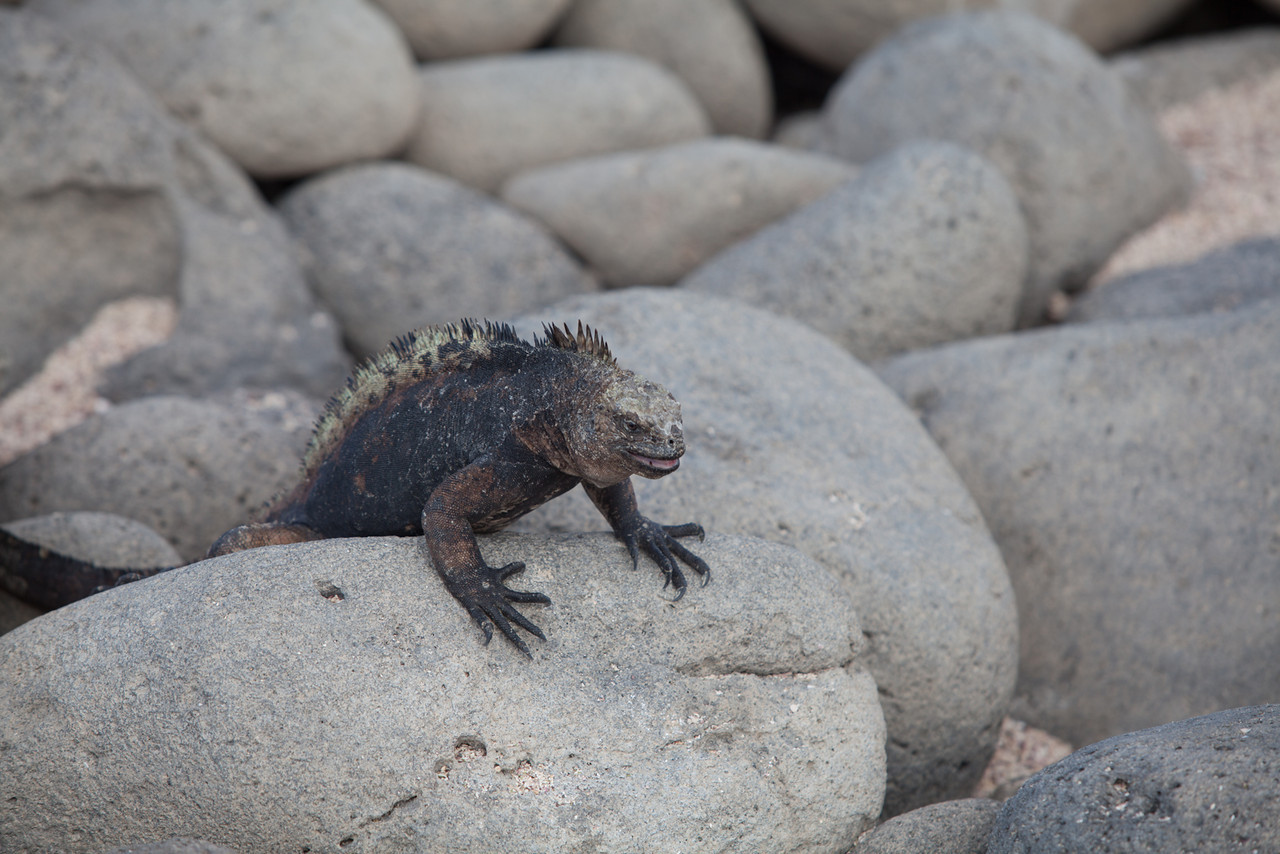 A marine iguana chilling on the rocks.