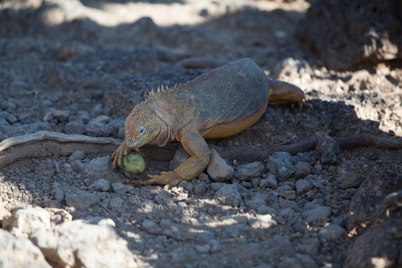 A land iguana snags a snack freshly fallen from a nearby cactus.